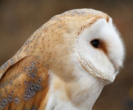 Barn Owl Royalty Free Stock Images