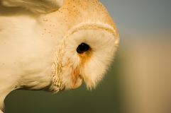 Barn Owl Royalty Free Stock Photography
