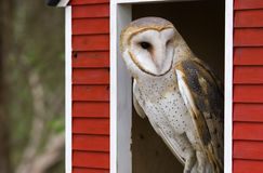 Barn Owl. Looking out of a Barn Window Royalty Free Stock Photography