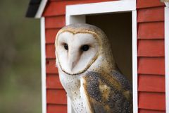 Barn Owl. Peeking Through a Red Barn Window Royalty Free Stock Photography