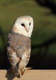 Barn Owl Stock Image