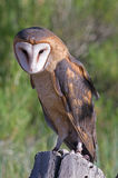 Barn Owl. A Portrait of a Barn Owl sitting on a stump Stock Photos
