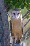 Barn Owl. A Portrait of a Barn Owl sitting on a stump Stock Images