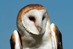 Barn owl. Close-up with blue sky looking right Stock Images