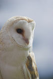 Barn Owl. A photo of a Barn Owl in profile against a blue-grey sky background Stock Photo