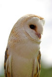 Barn Owl. A photo of a Barn Owl in profile against a white background Stock Photography