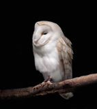 Barn Owl. Painting of a Barn Owl perched on a branch against a black background Stock Photos