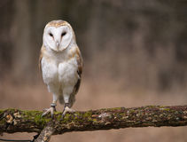 Barn Owl. Ringed barn owl perched on a mossy branch before a diffused forest background Royalty Free Stock Photos