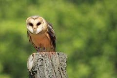 Barn owl. The adult barn owl sitting on the stub Stock Photo