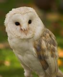 Barn owl. Taken in lincolnshire countryside Royalty Free Stock Photos