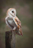 Barn Owl. A Barn Owl perches on a fence post as it hunts in the fens Royalty Free Stock Image