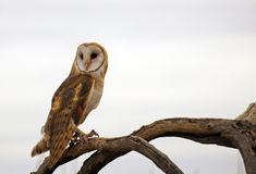 Barn Owl. Perches on a dead branch against a light, cloudy background Stock Photos