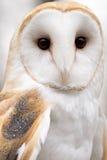 Barn Owl. A Barn Owl (Tyto alba) looks forward Stock Photography