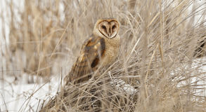 Barn Owl Stock Photography