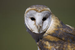 Barn Owl 3 royalty free stock photos