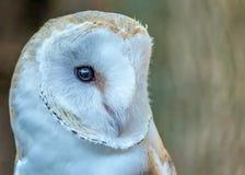 Free Barn Owl Stock Photography - 36703292