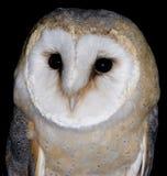 Barn Owl Royalty Free Stock Photos