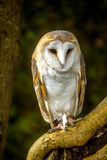 Barn Owl. Perched on a branch Stock Images