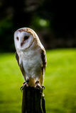 Barn Owl. Perched on a branch Royalty Free Stock Photo