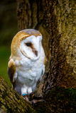 Barn Owl. Perched on a branch Royalty Free Stock Images