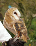 Barn Owl. Handler holds out his leather glove for the barn owl to land Royalty Free Stock Photo