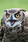 Owl with Open Beak Stock Images