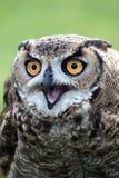 Owl with Open Beak stock images