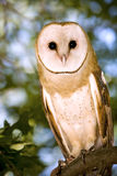 Barn Owl. Portrait of a Barn Owl Sitting in a Tree Stock Image