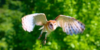 Barn Owl. A barn owl' main advantage is its ability to fly silently through the air Stock Images