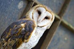 Barn Owl. Close up of a barn owl Royalty Free Stock Photos