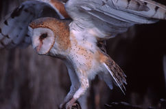 Barn owl. Preparing for flight Stock Photos