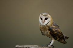 Free Barn Owl Royalty Free Stock Photography - 7574887