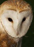 The Barn Owl Stock Photography