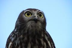 Barn Owl. A baby Barn Owl close up against a blue sky Stock Photography