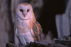 Barn owl. Portrait,photographed in Colorado Royalty Free Stock Photo