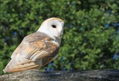 Bird / Barn Owl animal stock photos
