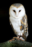 Barn Owl. A portrait of a Barn Owl on it perch Stock Image
