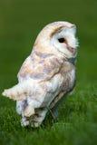 Barn Owl Stock Photography