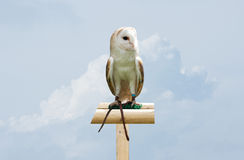 Barn Owl against sky Stock Photos