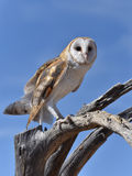 Barn Owl 4 Royalty Free Stock Photos