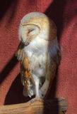 Barn Owl Asleep in the Cool Shade Royalty Free Stock Image