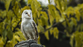 Barn owl. A awesome barn owl on a rock Stock Image