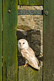 Barn owl on barn door Royalty Free Stock Image