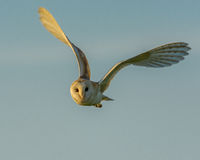 Barn Owl. The beauty of the barn owl Royalty Free Stock Photos