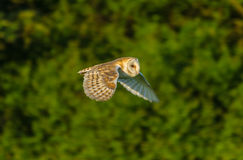 Barn Owl. The beauty of the barn owl Stock Photography