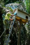 Worker catch a chick of barn owl & x28;Tyto alba& x29; from the hatching box for cencus. Barn owl for biological rat control in oil palm field Stock Photos