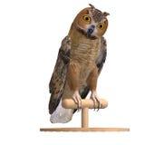 Barn Owl Bird Royalty Free Stock Images