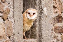 Barn Owl bird. Looking in small window Stock Photography