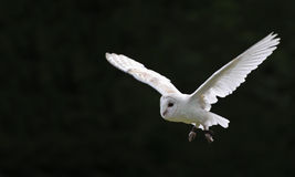 Free Barn Owl Bird Of Prey In Falconry Display Royalty Free Stock Photography - 19713777