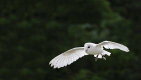 Barn owl bird of prey in falconry display Royalty Free Stock Image